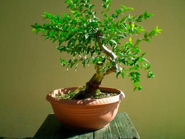 Красивое миниатюрное домашнее дерево